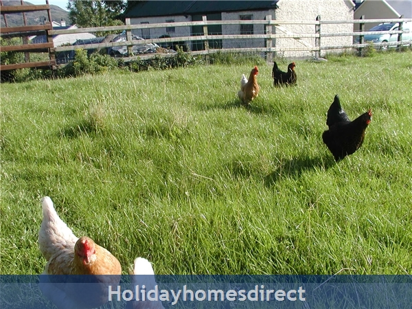 Hens on site
